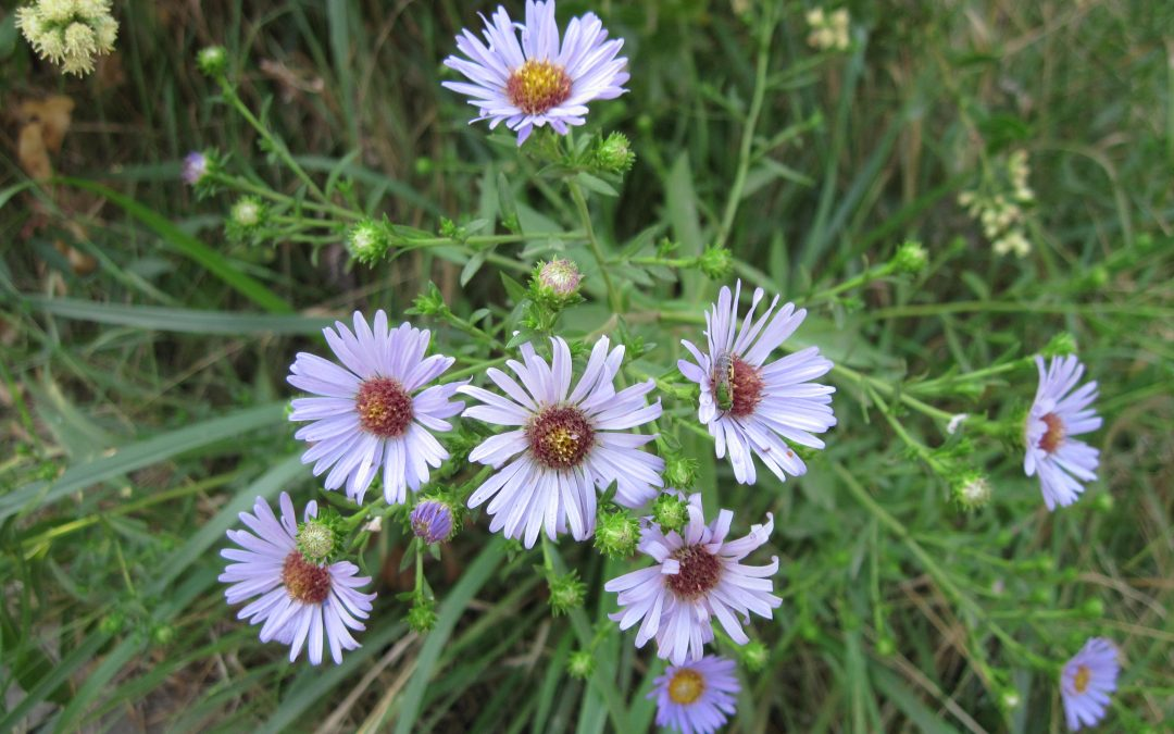 Wildflower of the Month:  September, 2021
